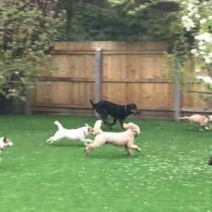 Champion best artificial grass for dogs
